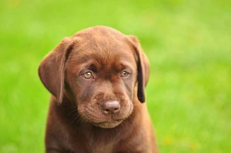 Labradorinnoutaja.