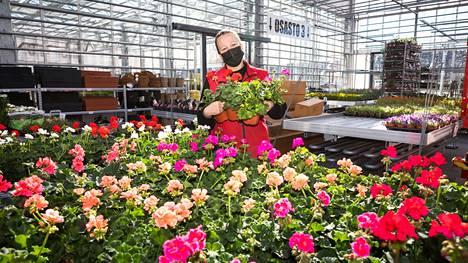 Pelargonien suosio on vuodesta toiseen vankka. Ikisuosikki on kirkkaanpunainen, sanoo aluepäällikkö Maiju Björn-Kettunen Pirilän kukkatalosta.