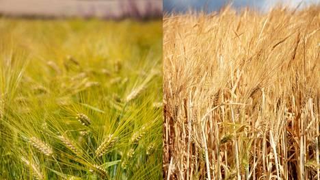 Kesän sateiden paikallisuus on saanut jopa saman tilan eri peltolohkoilla aikaan hyvin erilaisen tilanteen. Kuvassa Ylöjärven Viljakkalassa sijaitsevaa ohrapeltoa kahdelta eri lohkolta, yhden tien eri puolilta. Kylvöajoissa eroa ei ole, mutta vihreämmän puolen suomaa on auttanut ohraa saamaan vettä paremmin kuin kuivemman puolen hiesu- ja savimaa.