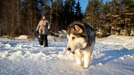 Alaskanmalamuutti Luna ja sen emäntä Sirpa Ojala viihtyvät talvisin Isojärven jäällä.