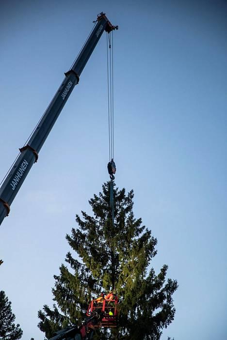 Kuuseen kiinnitettiin liinat, joiden avulla nosturi piti puun paikoillaan.