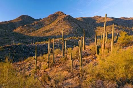 Kaktukset viihtyvät Saguaron kansallispuiston kuumuudessa Sonoran autiomaassa Arizonassa Yhdysvalloissa.