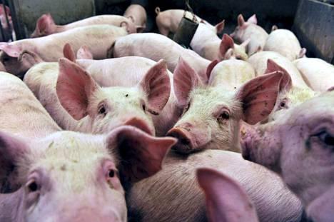 """Porsaat tarvitsevat hoitajaa, vaikka niiden isäntä lomailisi. Lomaoikeus edellyttää kuutta eläinyksikköä, eli 90 porsasta, sillä 15 """"muuta sikaa"""" muodostaa yhden laskennallisen eläinyksikön."""