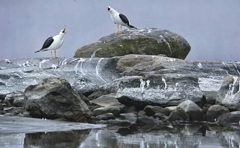 Tietoja muovista selkälokkien (kuvassa) ja muiden merilintujen ravinnossa ei juuri ole Suomen rannikolta. Tutkimustarpeen alustavaan arviointiin kaivataan luontoharrastajien apua.