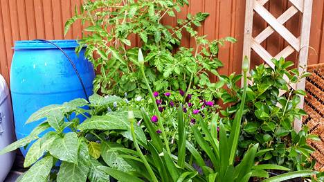 Hulevedet kannattaa ottaa talteen säiliöihin. Myös runsans kasvillisuus estää ylimääräistä vettä kertymästä tontille.