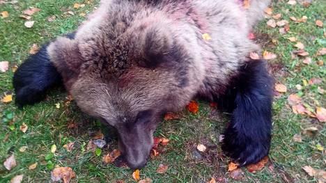 Pohjaslahden yhteislupaseurue lähti sunnuntaina hirvijahtiin mutta kaatoikin karhun. Kaato saatiin kahdella koiralla, joista ensimmäinen haukkui Salonsaaressa ja toinen jatkoi mantereen puolella Pajuskylässä.
