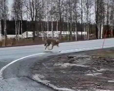 Mikael Päiväniemi onnistui kuvaamaan, kun susi jolkotteli Ikaalisten keskustan lähellä. Se yritti ylittää kolmostien lähellä paloasemaa.