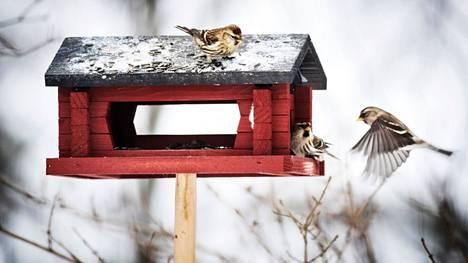 Lintuja ruokitaan talvisin yhä enemmän.
