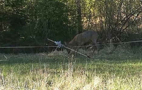 Nuori herra kauris jäi sarvistaan kiinni Suvi Mattilan hevosaitauksen sähköpaimeneen.