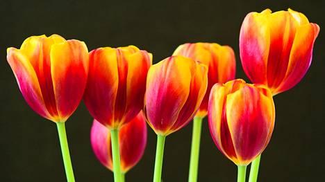 Tulppaanit viekoittelevat väreillään Jorma Soinisen ottamassa kuvassa.