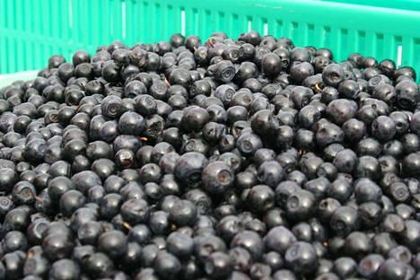 Kylmästä alkukesästä huolimatta viime vuonna saatiin ennätyssato mustikkaa, jota riitti vientiin asti.