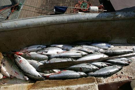 Lohen kalastus on kielletty Selkämeren alueella 1. huhtikuuta - 16. kesäkuuta.