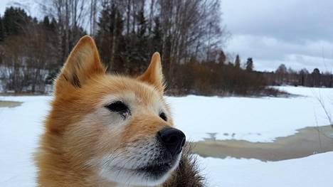 Koira ei osaa arvioida onko jää tarpeeksi kestävää ja saattaa innostuksissaan juosta jäälle myös omistajan estelyistä huolimatta.