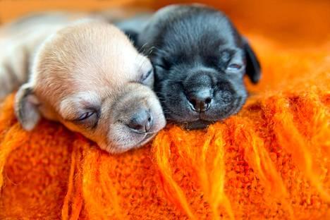 Viime vuonna koiria rekisteröitiin Suomessa yli 8 prosenttia enemmän kuin vuonna 2019. Monen rodun pentuja voi joutua odottamaan pitkään, sillä kyselijöitä on paljon.