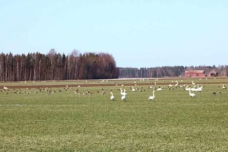 Joutsenten lisäksi pellolle oli laskeutunut metsähanhia.