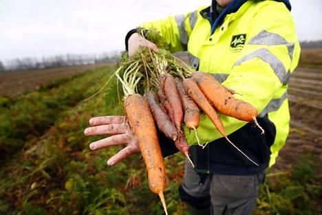 Maanviljely voi ratkaista ihmiskunnan suuria kysymyksiä ilmastoon ja ympäristökriiseihin liittyen. Tarvitaan muutoksia läpi systeemin kuluttajista tuottajiin. Kuvassa Räpin koetilan porkkanasatoa vuodelta 2016.