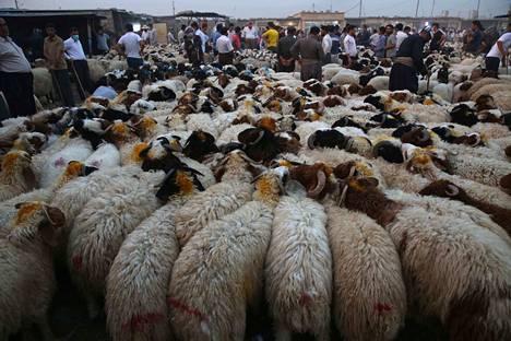 Pyhiinvaelluksen yhteydessä juhlitaan myös Id-al-Adhaa, eli uhrijuhlaa. Usein tällöin teurastetaan eläin. Kuvan lampaat odottavat myyntiä Erbilissä, Irakissa.