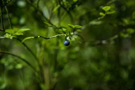 Mustikan kukinta oli tänä vuonna vaisu, minkä vuoksi myös sato jää tavallista heikommaksi. Perjantaina Kaupin metsässä Tampereella oli mustikoita niukasti. Tämä yksilö tallentui valokuvaan.