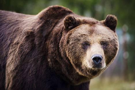 Karhujen määrä on kasvussa maassamme.
