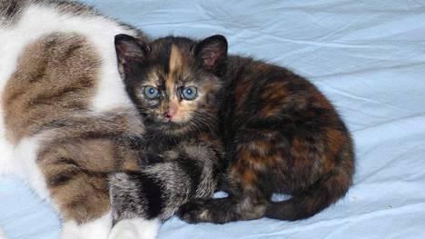 Pröttiksestä on kasvamassa sopivassa suhteessa rasavilli pikkukissa.  Kissaelämän saloihin pentua opettaa Kati Niittyniemen Vili-kissa.