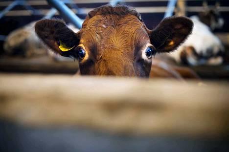 Tölkkien aiheuttamista lehmien kuolemista on kerrottu sosiaalisessa mediassa, mutta tuore kysely paljastaa ongelman laajaksi.