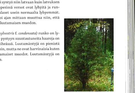 Teoksesta Metsäpuiden erikoismuodot löytyy vanha kuva Ulvilassa kasvaneesta pensasmaisesta luutamännystä.