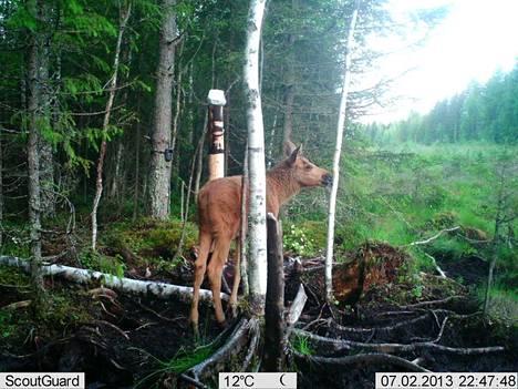 Riistakameraan tallentunut hirvi.  Hirvenmetsästys alkaa tänä vuonna vasta lokakuun toisena viikonloppuna.