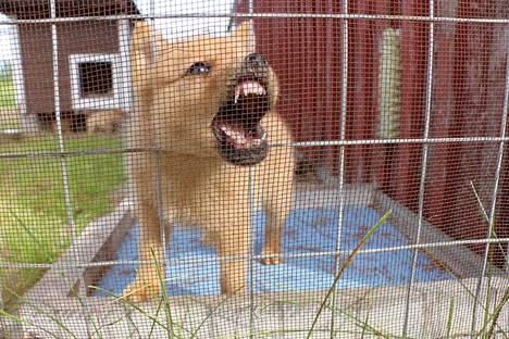 Suomenpystykorva on metsästyskoira, joka sopeutuu myös hyvin kaupunkioloihin. Koiran luonteenomainen liike on nopeaa, keveää ja sulavaa.