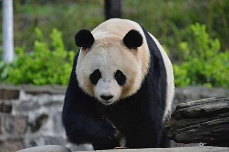 Tätä pandaa Ähtäri Zoon pandatiimi kävi katsomassa Kiinassa. Tämä on siis mahdollinen kandidaatti, yksi monista, joista valitaan naaras ja uros. Valinta tapahtuu elokuussa.