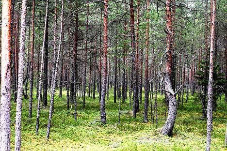 Männyt varjostavat kauniisti Viron teitä. Tässä ollaan Männikussa.