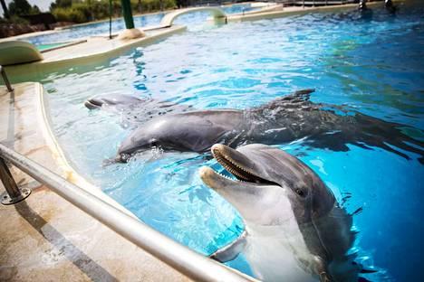 Särkänniemen delfiinit ovat uiskennelleet nyt vuoden päivät Kreikassa Attica-eläintarhan altaassa. Kuvassa etualalla naarasdelfiini Veera, taustalla Eevertti ja Leevi.