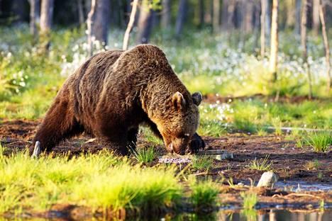 Tämä karhu oli hengissä ainakin vielä jahtikauden alussa. Se kuvattiin haaskalla Vartiuksessa.