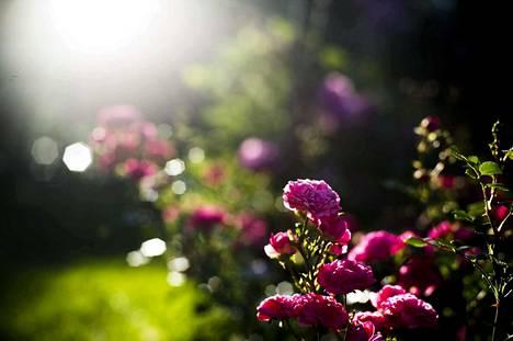 Arboretumin Ruusutarha mainittiin erityisesti sadan parhaan puiston listassa.