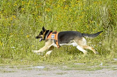 Ensi vuoden alusta Vapepan hälytyksiin koiralta edellytetään sekä haju- että jälkijäljitystaitoa. Koira voi erikoistua myös esimerkiksi rauniokoiraksi.