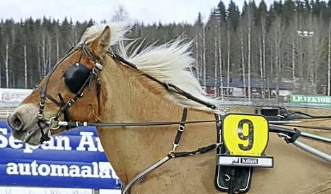 Keuruun Hevosystäväinseuran vuoden 2017 nimikkohevonen Tänttärä kunnostautui Ylivieskan Tammasarjassa.