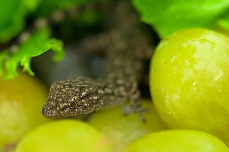 Matiksi ristitty gekko löytyi Tampereelta viinirypäleiden välistä.