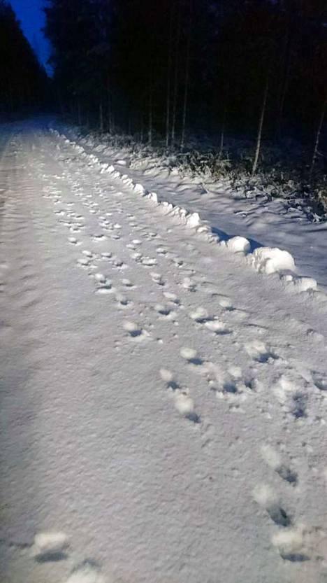 Sudenjälkiä Karviassa. Jälkien ja riistakameroiden kuvien perusteella metsästäjät ovat laskeneet, että Satakunnan ja Etelä-Pohjanmaan rajaseudulla on jo 4-5 lisääntyvää susilaumaa.