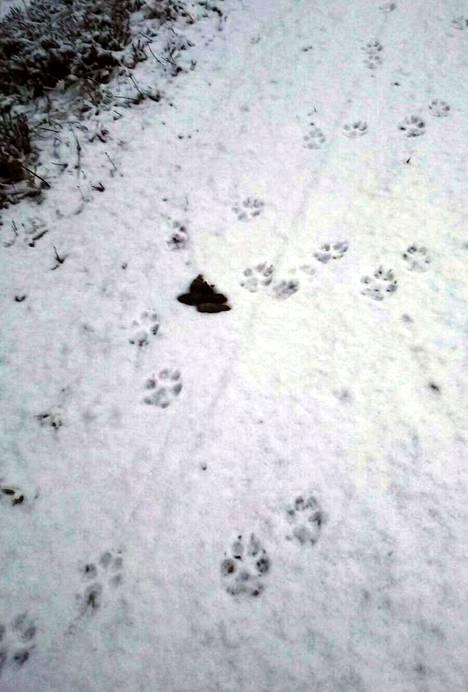 –Sudet eivät välittäneet ihmisistä mitään, se minusta on huolestuttava piirre. Koirien kimppuun ne eivät ole käyneet, ilmeisesti peuroja, kauriita ja hirvenvasoja on riittämiin, sanoo Parkanon-Karvian rhy:n toiminnanohjaaja Arttu Alvari.