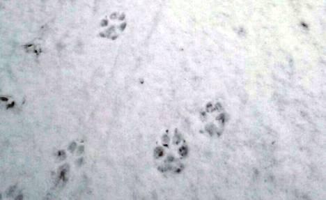 Pohjois-Parkanossa, Karviassa, Jämijärvellä, Itä-Kauhajoella ja Kurikassa liikkuu varmistetusti alfapari viiden ensimmäisen pentunsa kanssa. Nämä jäljet on kuvattu Karviassa.