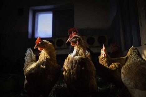 Ira Hellsténin mielestä oikea maatila on monimuotoinen. Siellä elää monia eläinlajeja ja kasvaa erilaisia kasveja. Monimuotoisuudesta seuraa muun muassa se, että kun kanat pääsevät kesällä laitumelle lehmänlantaa nokkimaan, kärpäset vähenevät.