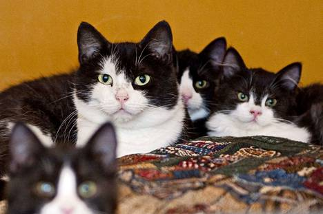 Kesän ensimmäiset kissanpennut saavat alkunsa näinä aikoina. Moni päätyy kasvattamaan villiintynyttä kissalaumaa. Kuvituskuva.