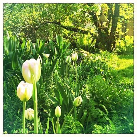 Vaaleat tulppaanit on etupihan perennapenkissä, sieltä on nousemassa myös ahopukinjuuri ja porkkana.