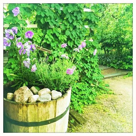 Tynnyrissä kasvavien kukkien nimiä Kokkonen ei muista. Takana kasvaa humala tukea pitkin ja oikealla näkyy kameliajasmike ja pionit sekä forget me not.