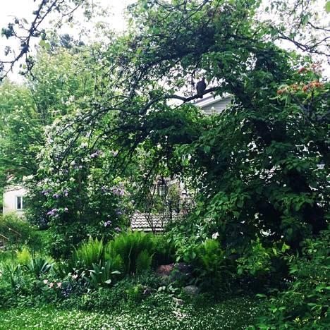 Omenapuu, jossa kasvaa köynnöshortensia. Puussa pesii kaksi kyyhkyä keväisin. Puun alla kotkansiipiä, särkynyttä sydäntä ja vasemmalla syreeni.