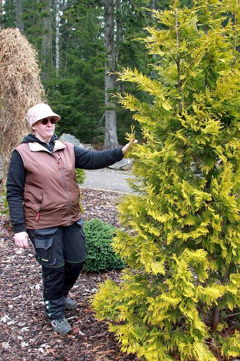 Tiina pönkkä opastaa aloittamaan havuryhmän kasvien valinnan kookkaimmista yksilöistä. Kultatuijan, 'Yellow Ribbonin' keltainen lehvästö korostuu kauniisti, kun ympärillä on tumman vihreitä tai hopeaisia havupensaita.