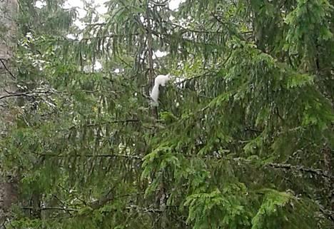 Eemil Häkkinen kuvasi valkoisen oravan viime kesänä Keurusselän saaressa.