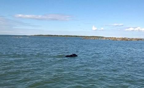 Uimaretkellä ollut karhu kävi lähimmillään alle kymmenen metrin päässä Nylundin pariskunnan veneestä.