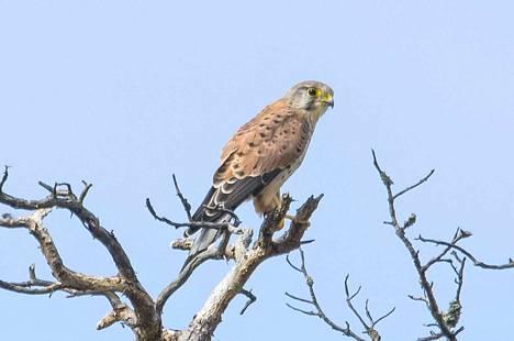 Tuulihaukalla on kaunis tiilenpunainen selkä. Vanhaksi koiraaksi linnun tunnistaa harmaasta päästä ja harmaasta pyrstöstä.