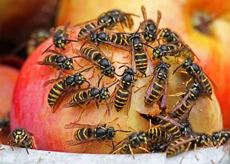 Hyvinä ampiaisvuosina – sellaisina kuin nyt – makealle persot työläiset voivat parveilla joukoittain esimerkiksi ämpäriin kerättyjen pilaantuvien omenoiden kimpussa. Nämä herkkusuut ovat koloampiaisia.