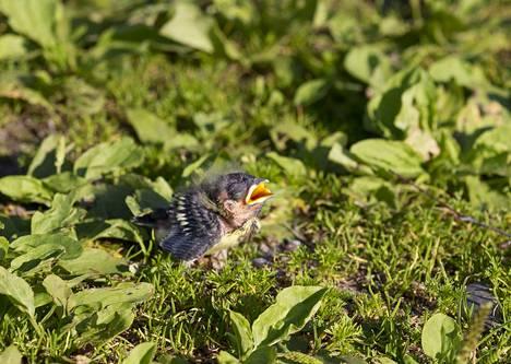 Kesällä moni törmää maassa kyyhöttävään tai loukkaantuneeseen lintuun. Maassa oleva poikanen ei yleensä tarvitse ihmisen apua.